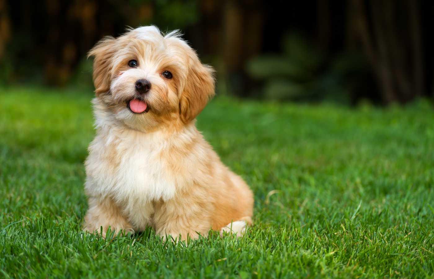 Havanese-dog