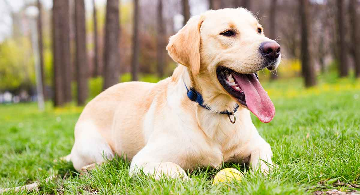 How-Long-Do-Labrador-Retriever-Live-long