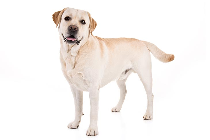 Labrador-Retriever-On-White