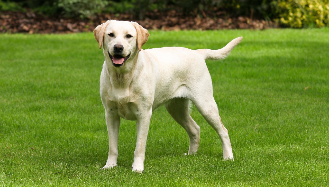 Labrador-Retriever-On-White1