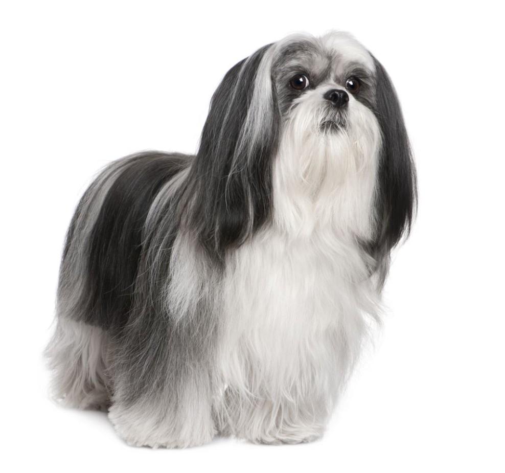 Lhasa-apso-dog-breed