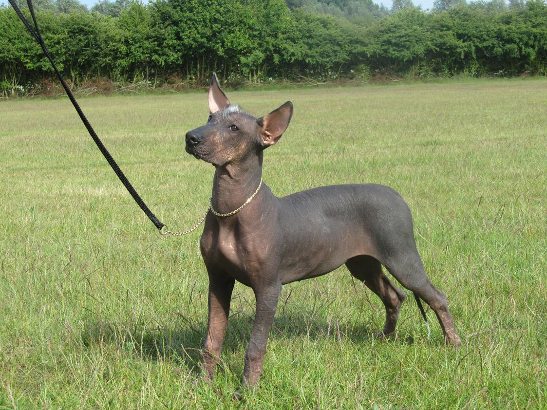 Mexican-Hairless-Dog-history