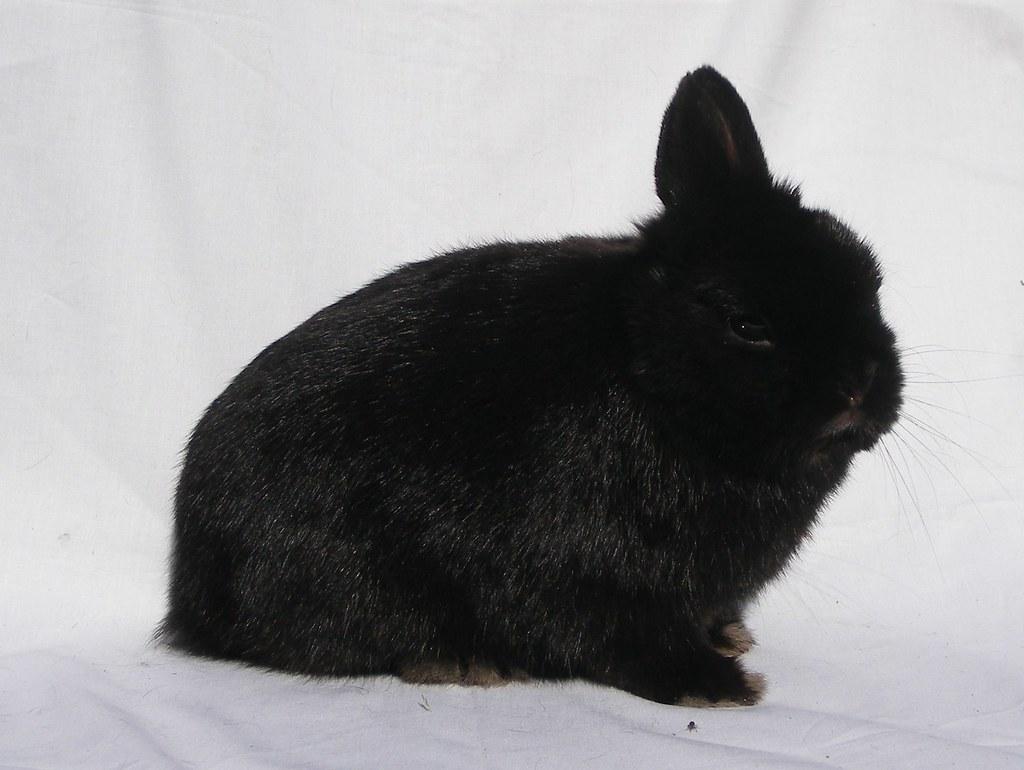 Netherland-Dwarf-Rabbit-about