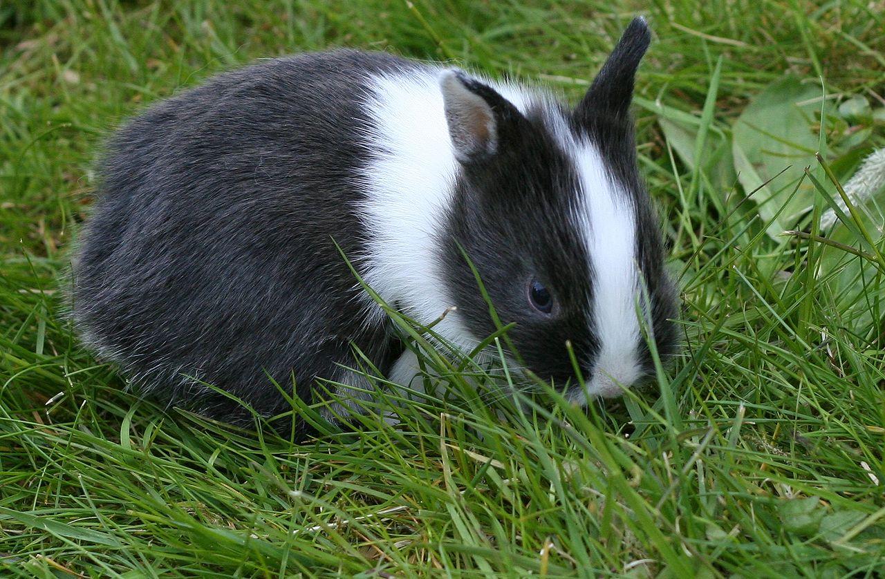 Netherland-Dwarf-Rabbit-origin