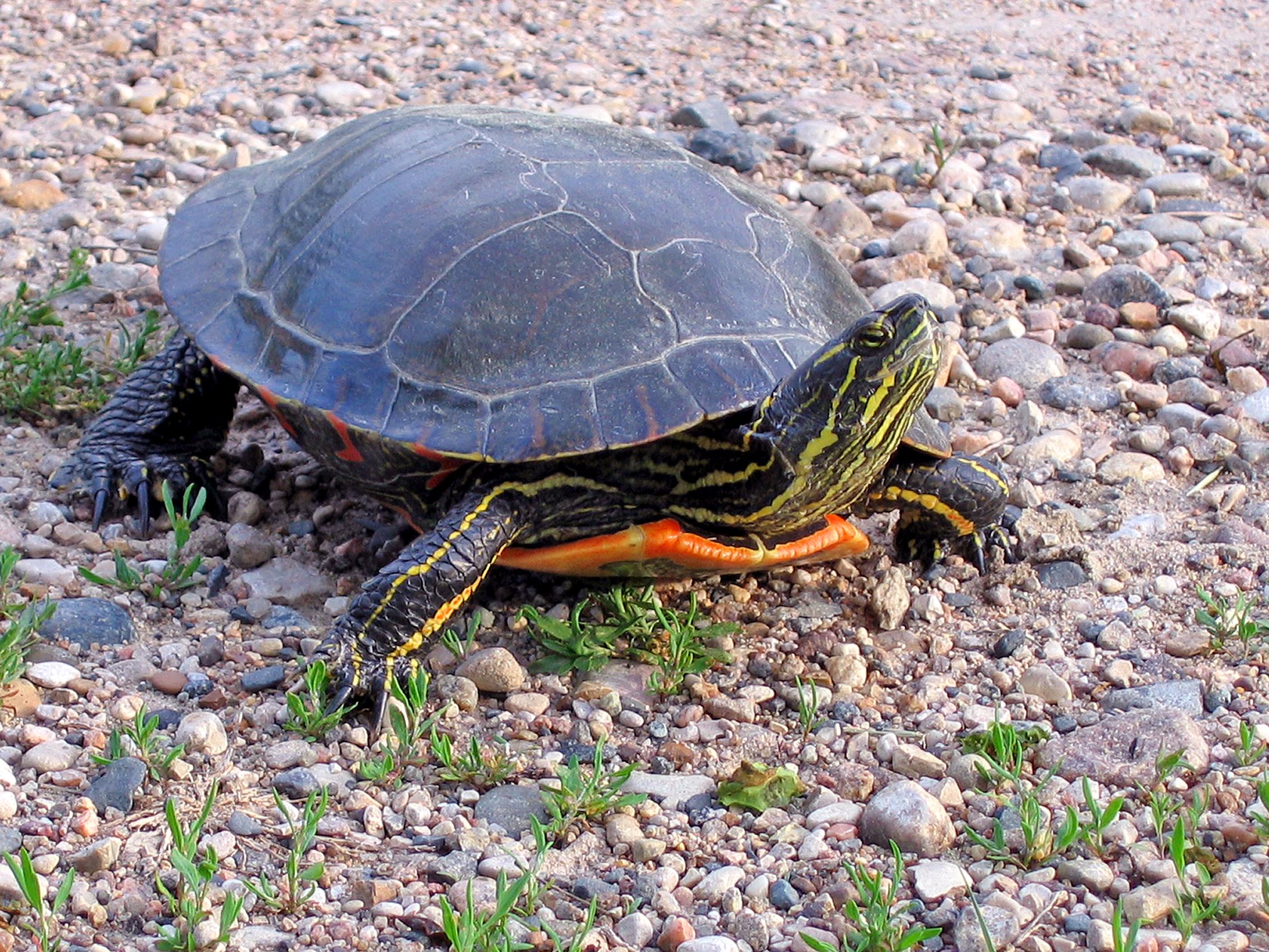 feeding-turtle