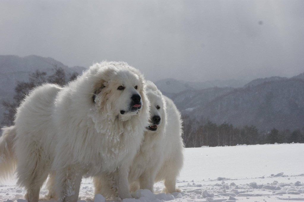 Pyrenean Mountain Dog Breed Information, Facts & Health