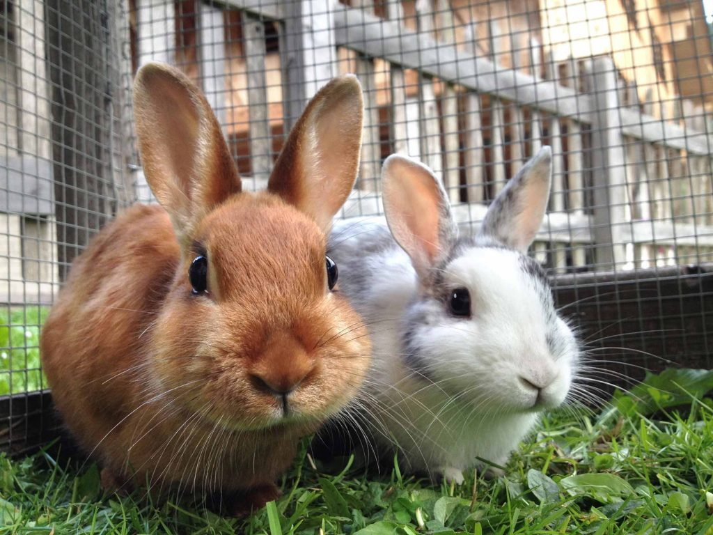Rabbit-Tuberculosis