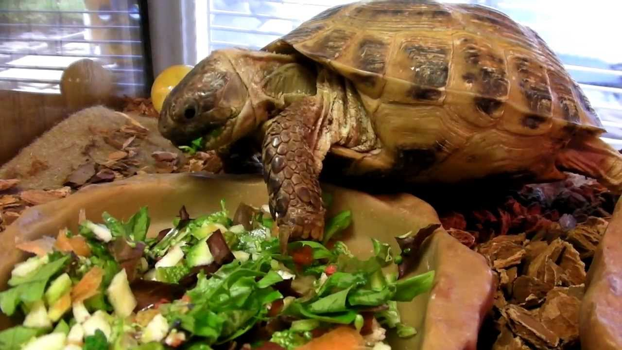 russian-tortoise-food