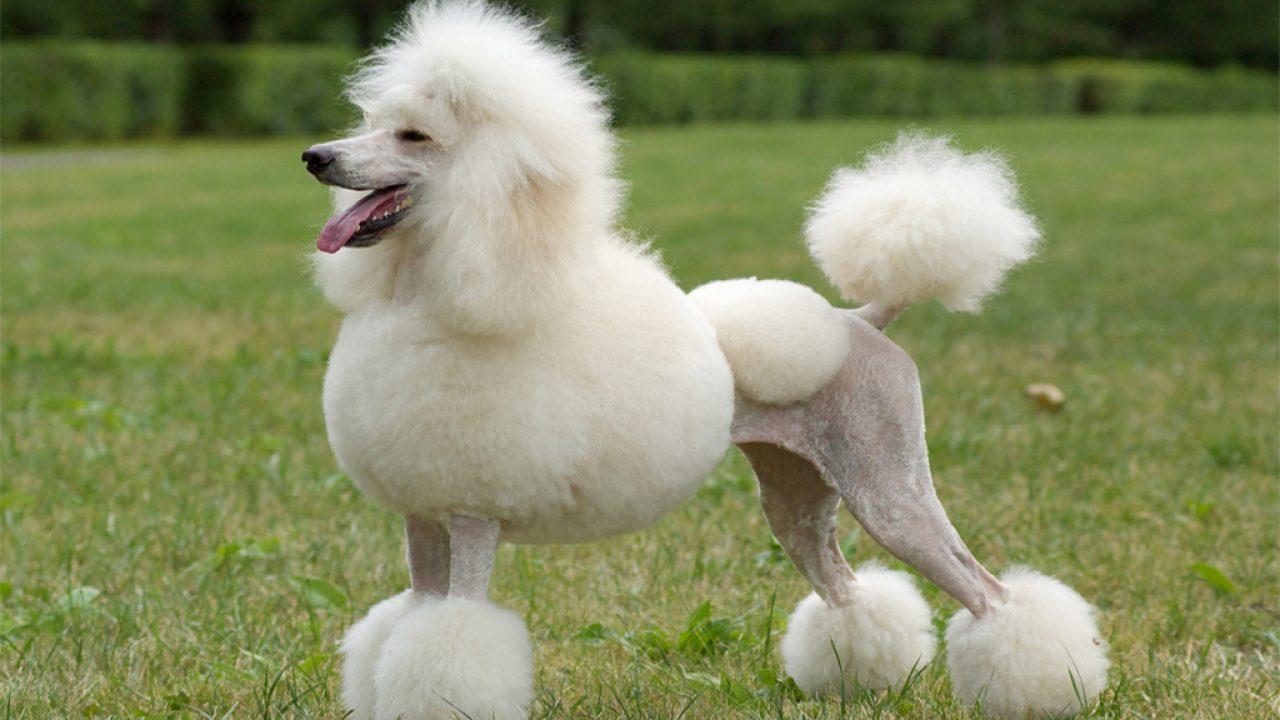 standard-poodle-chacterstics