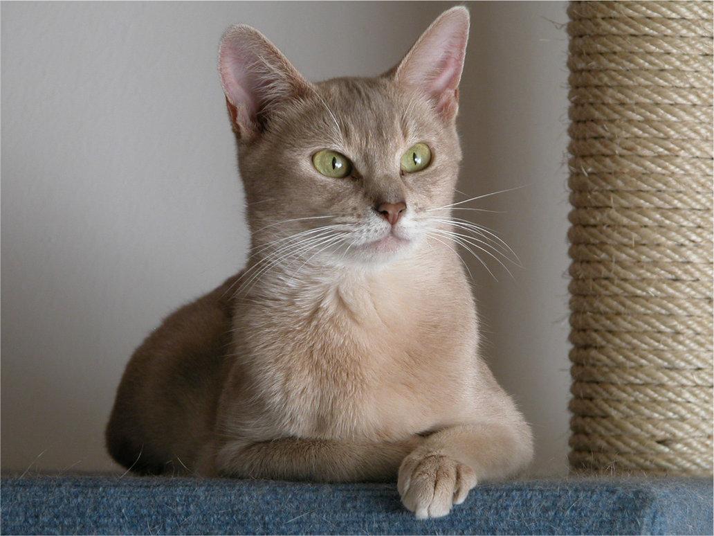 Temperament Abyssinian Cat