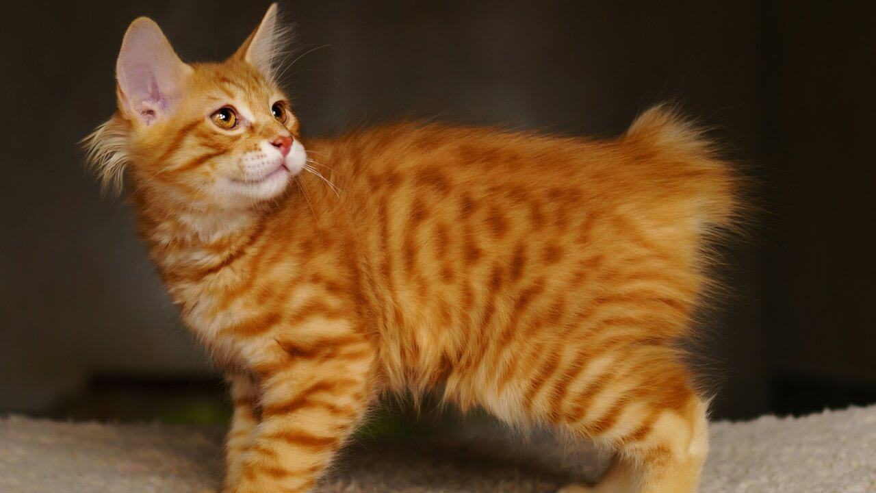 The-American-Bobtail-Cat-Breed