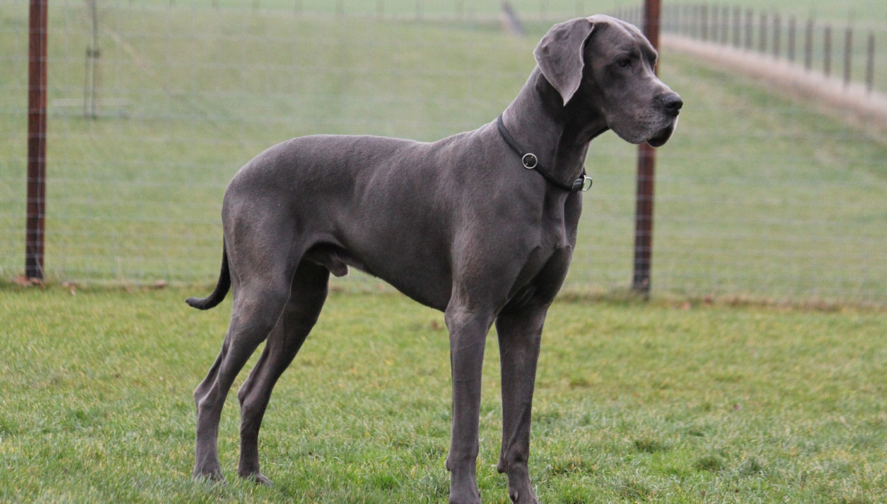The_Great_Dane