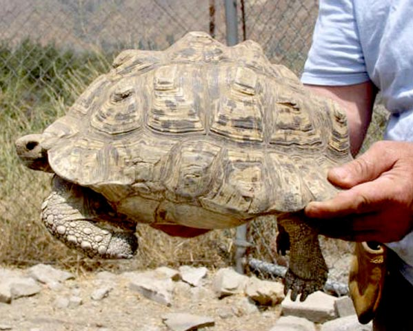 leopard tortoise size and weight