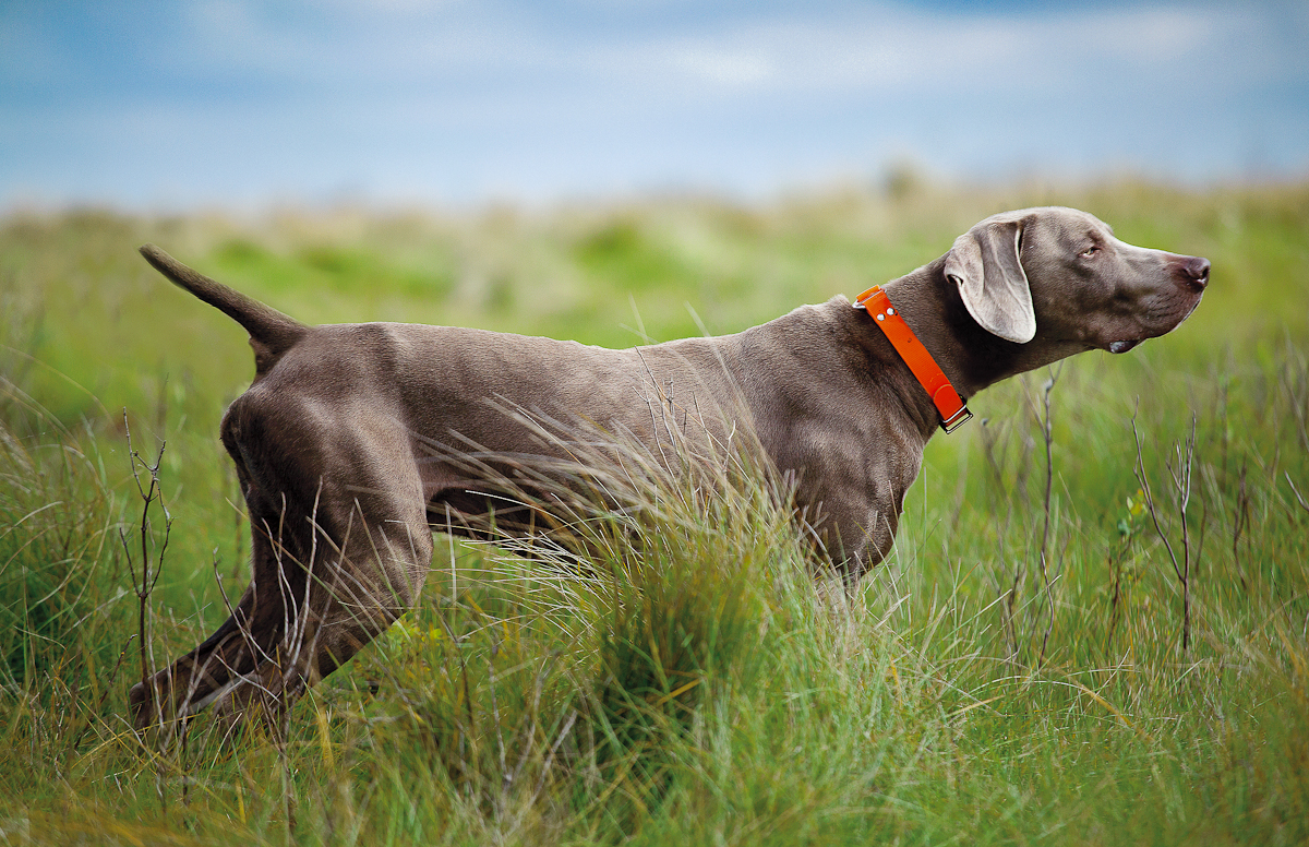 weimaraner-dog-chacterstics