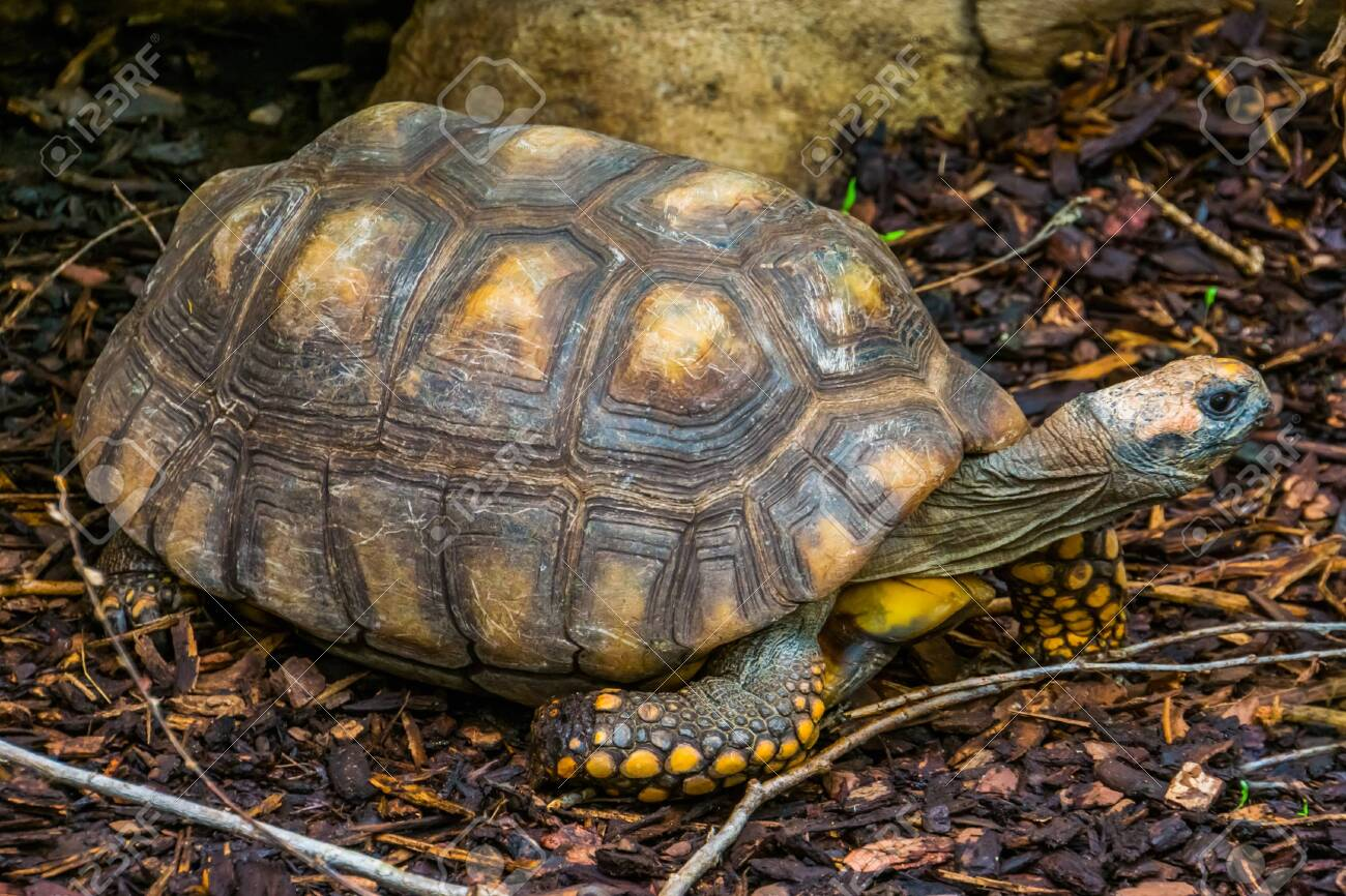 yellow-footed-tortoise-breed