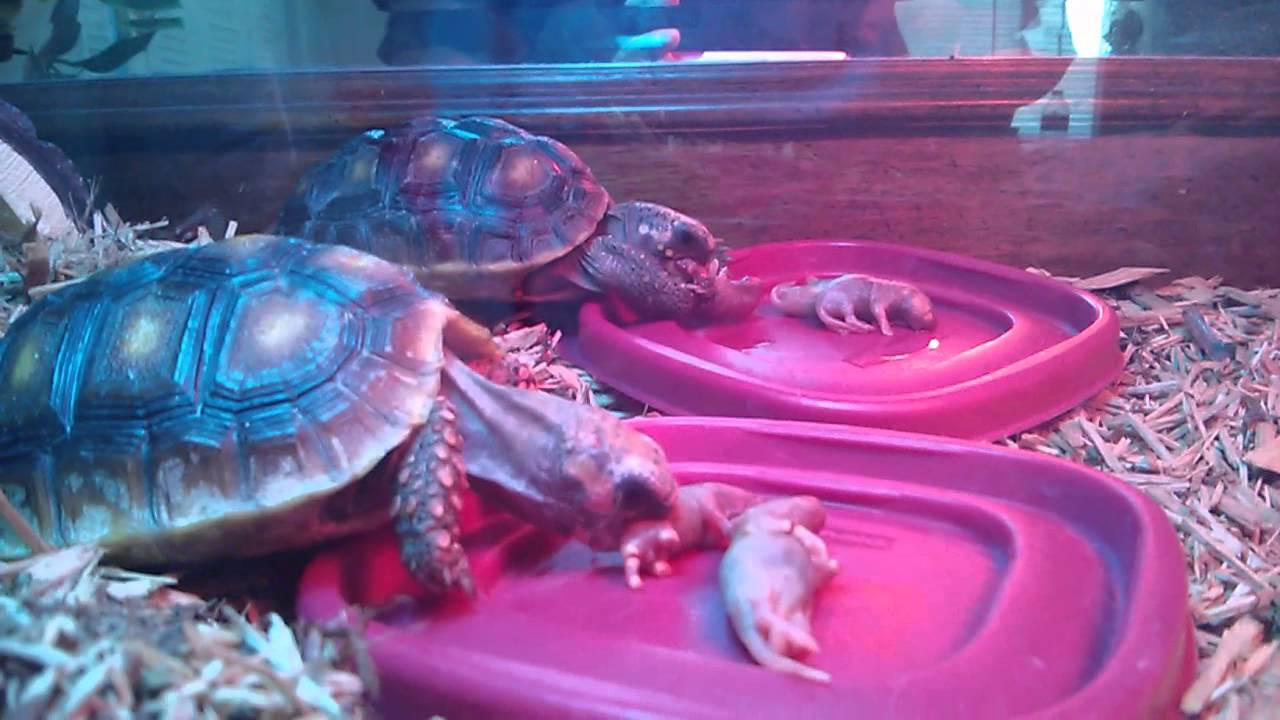 Yellow-Footed-Tortoise-food