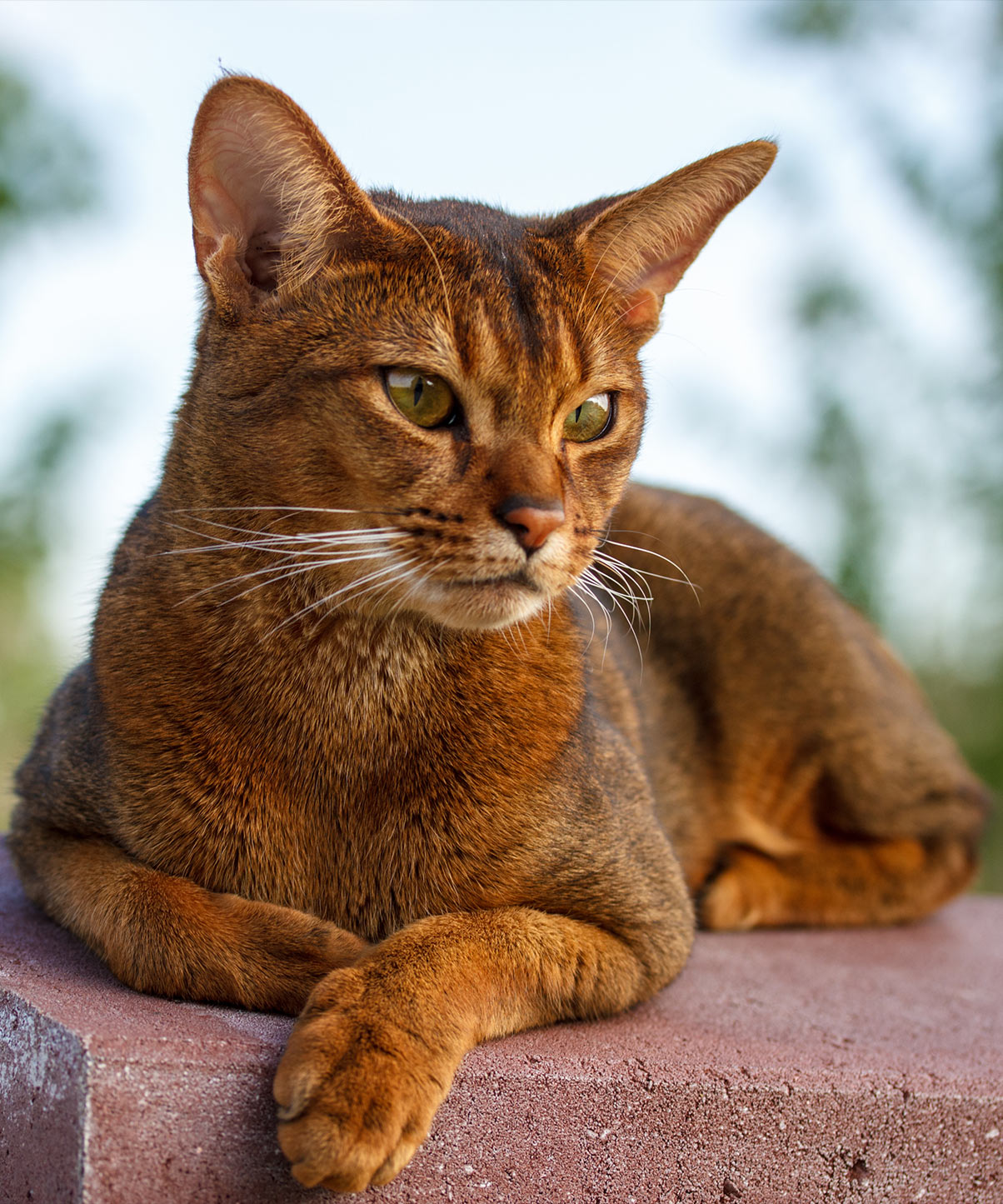 abyssinian-cats