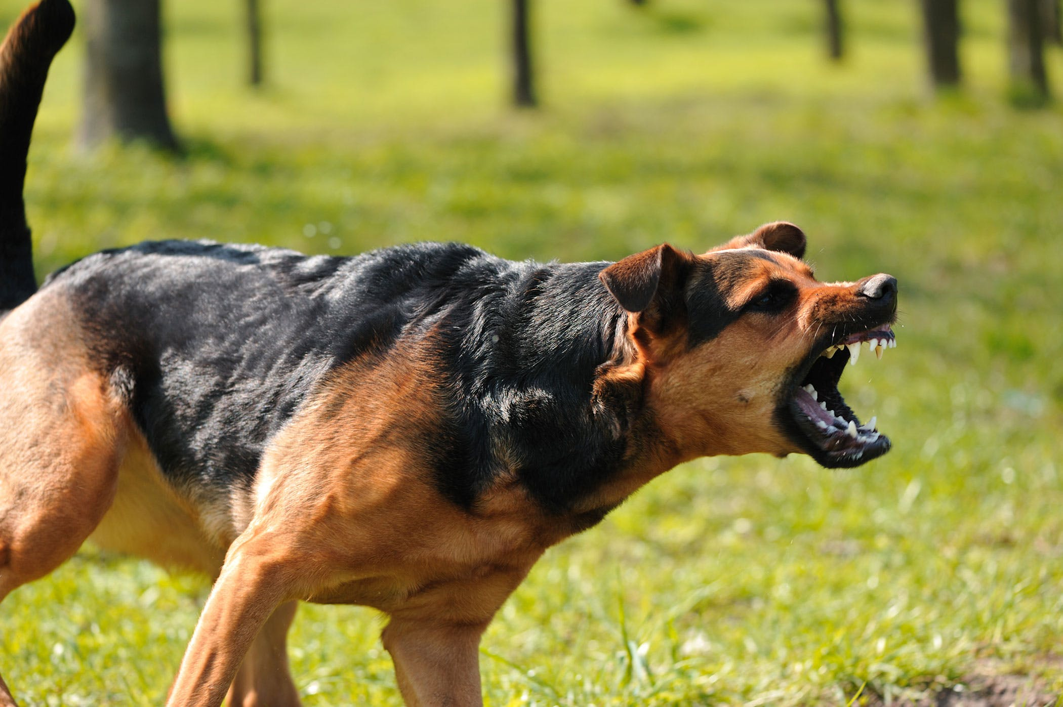 Dominant Dog Behaviors