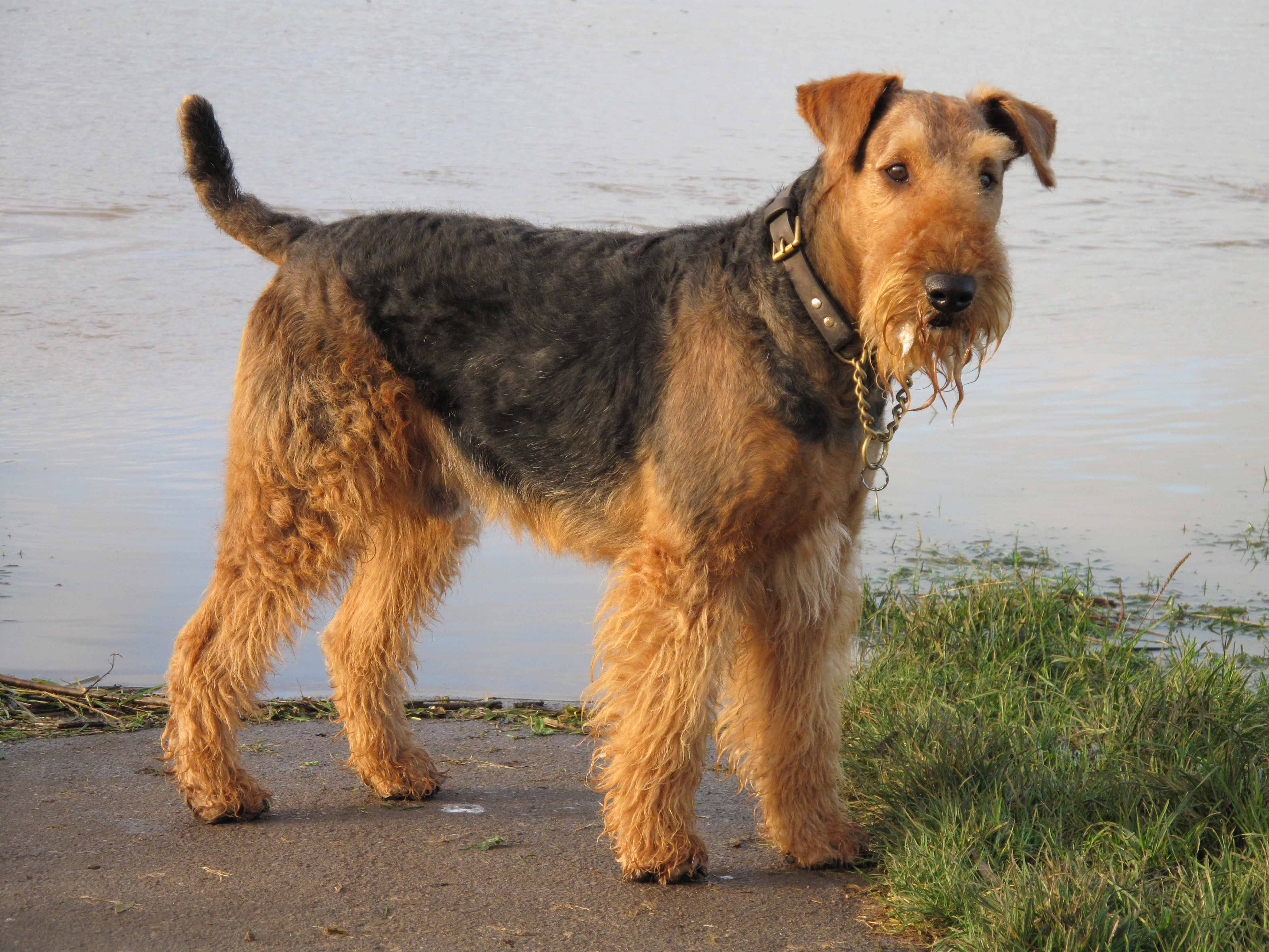 airedale-terrier-dog