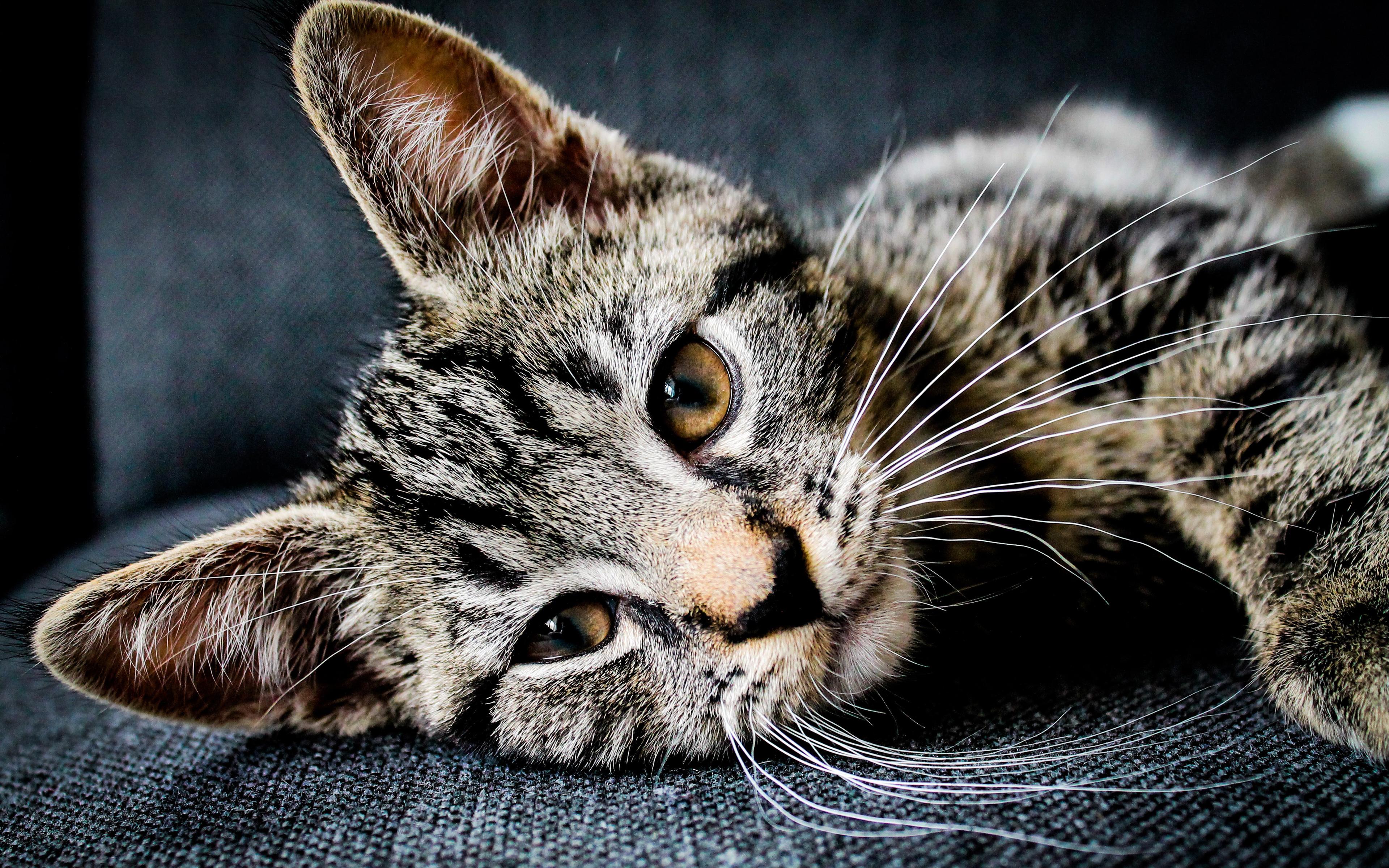 american-shorthair-cat-temperament