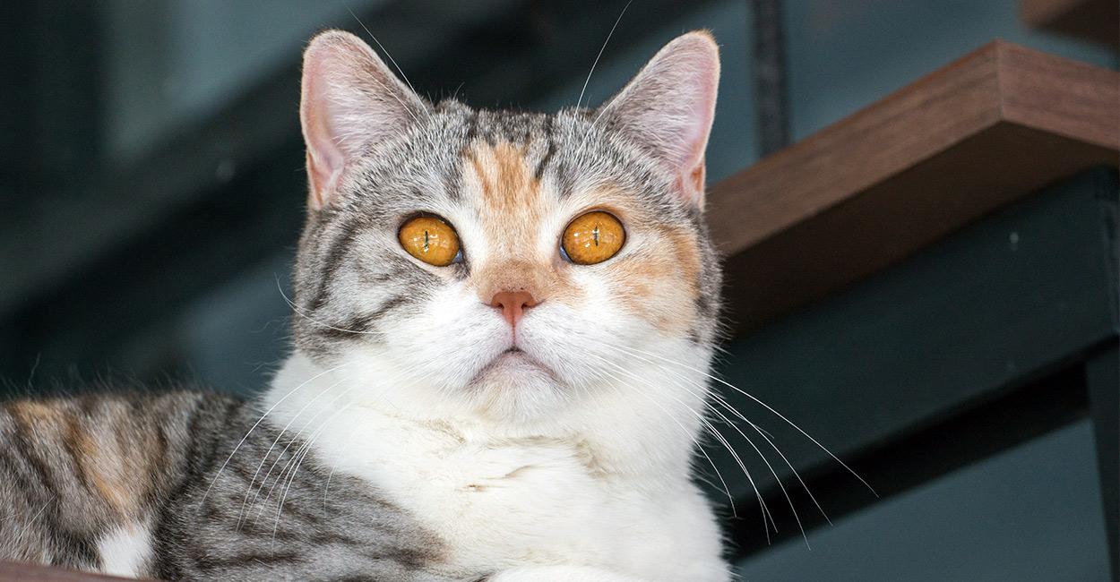 american-wirehair-cat-temperaments