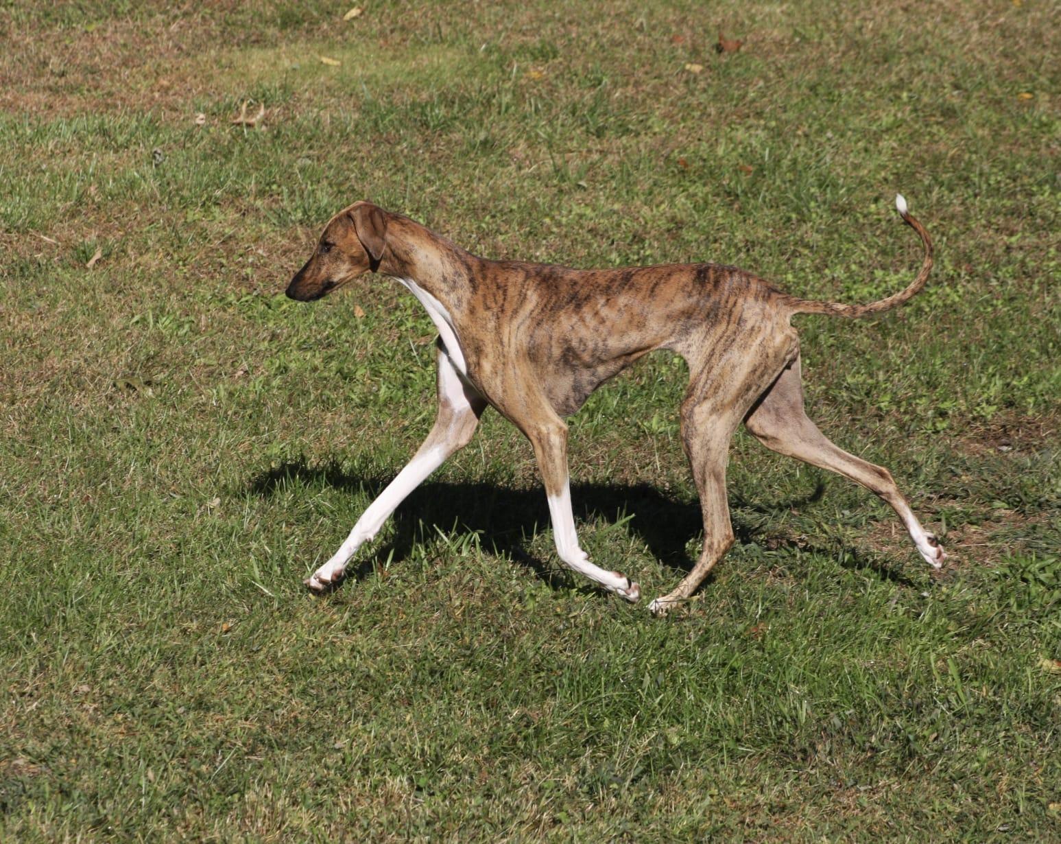 azawakh-dog-history