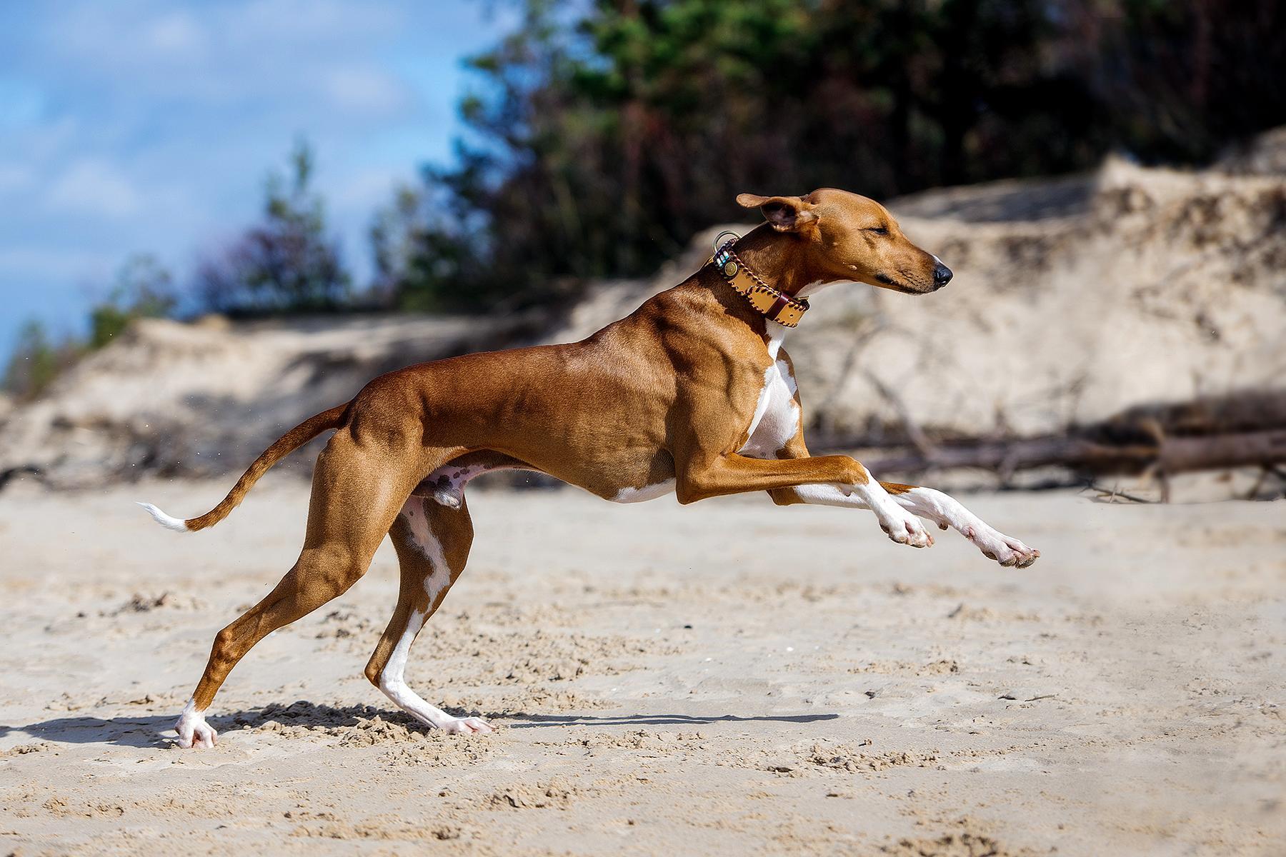 azawakh-dog-personality