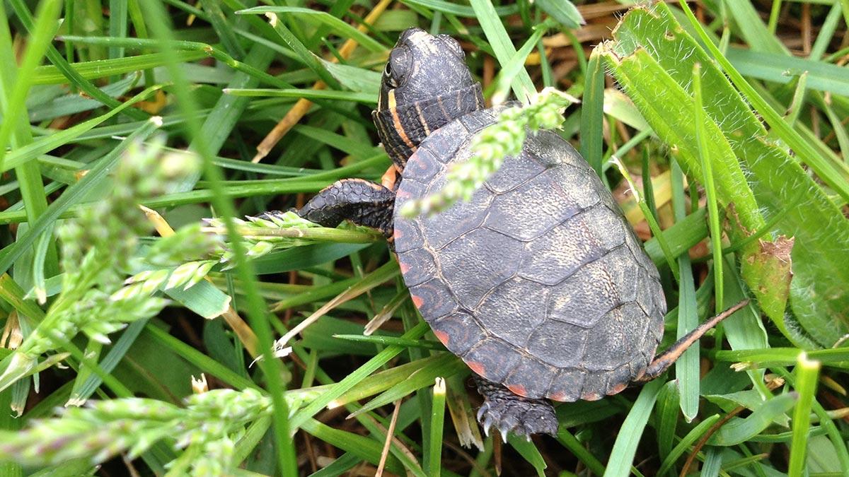 types-of-water-turtles