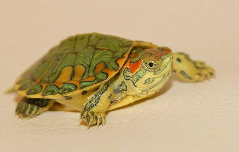 baby-turtle-food