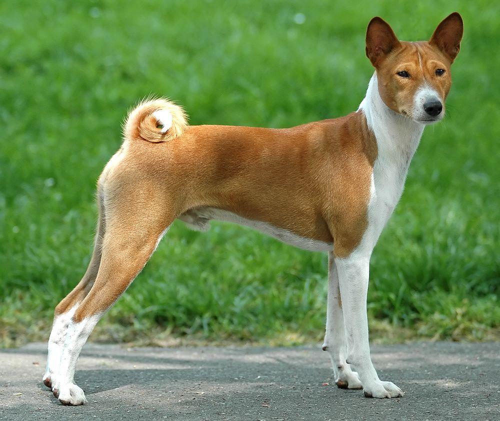 basenji-dog-characterstics