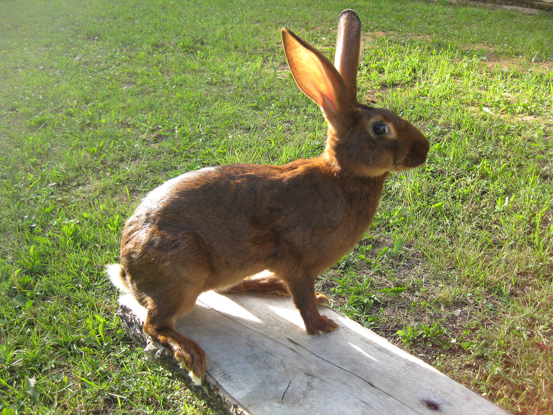 belgain-rabbit