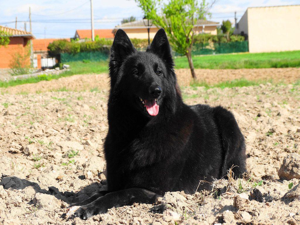 belgian-shepherd-health
