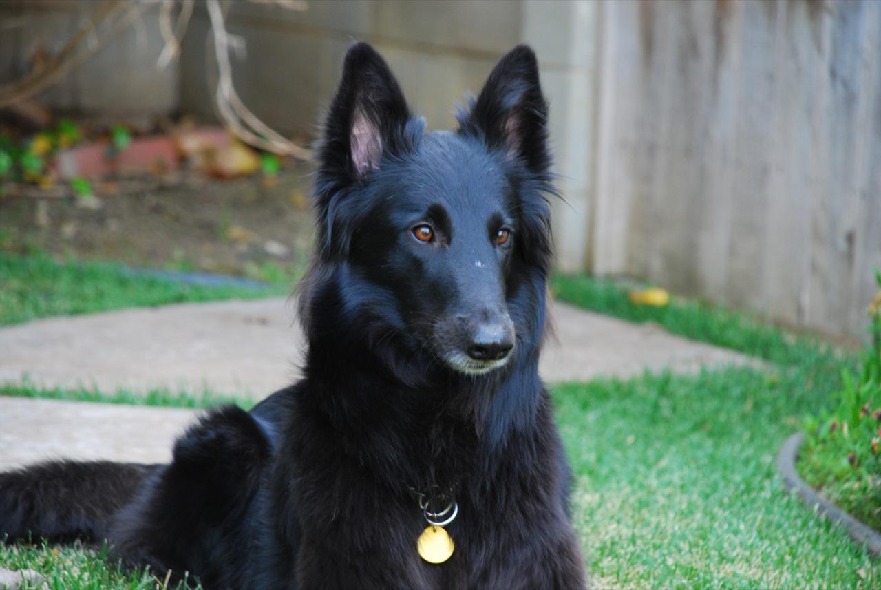 belgian-shepherd