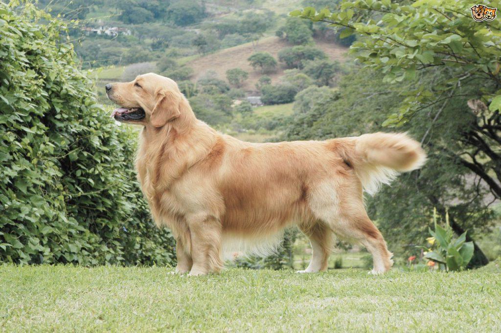 best-stud-dog