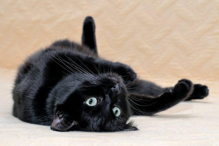 Bombay Cat Breed Characteristics Temperament Cat Care