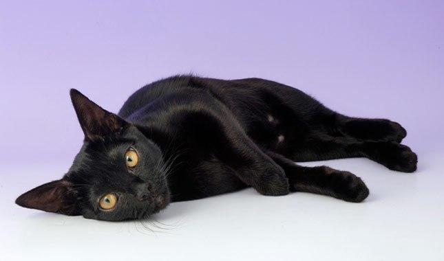 bombay-cat