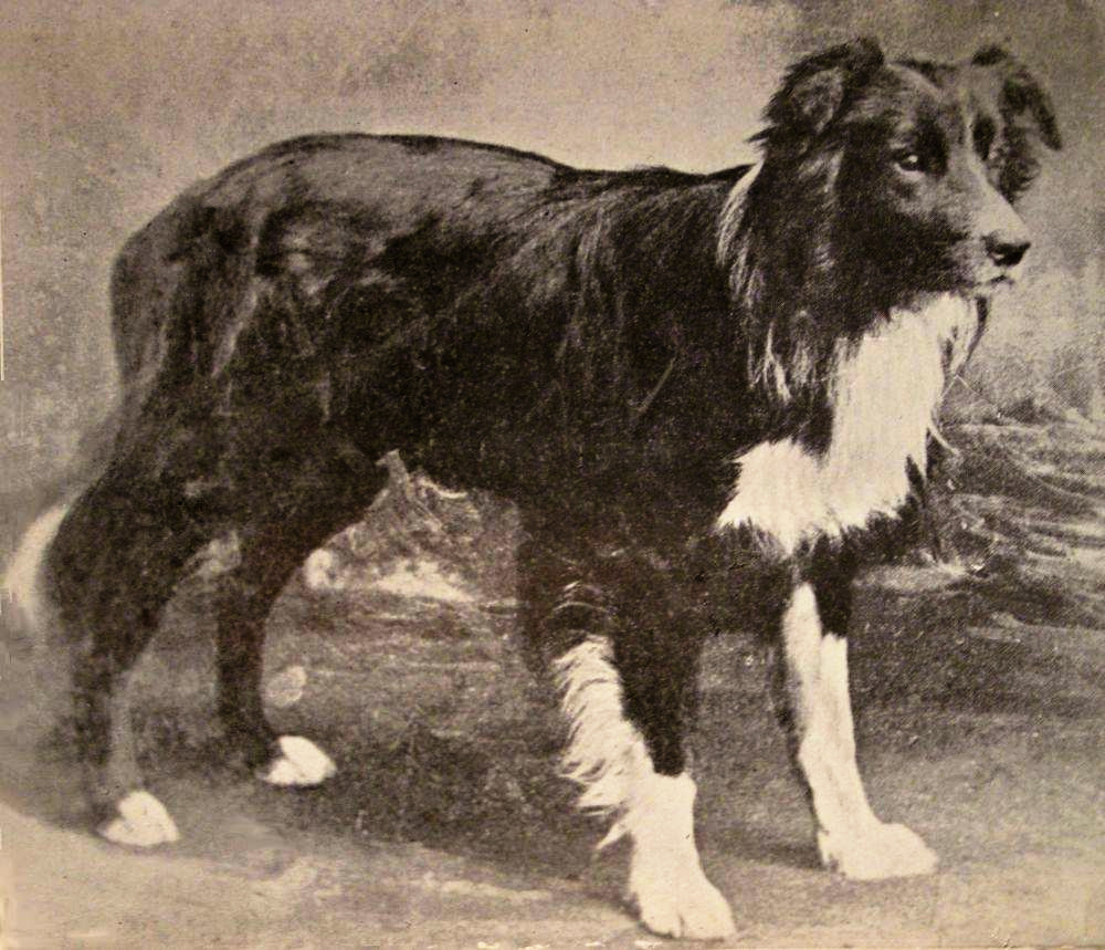 border-collie-history