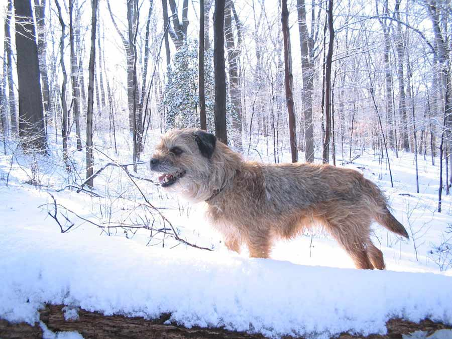 border-terrier-health