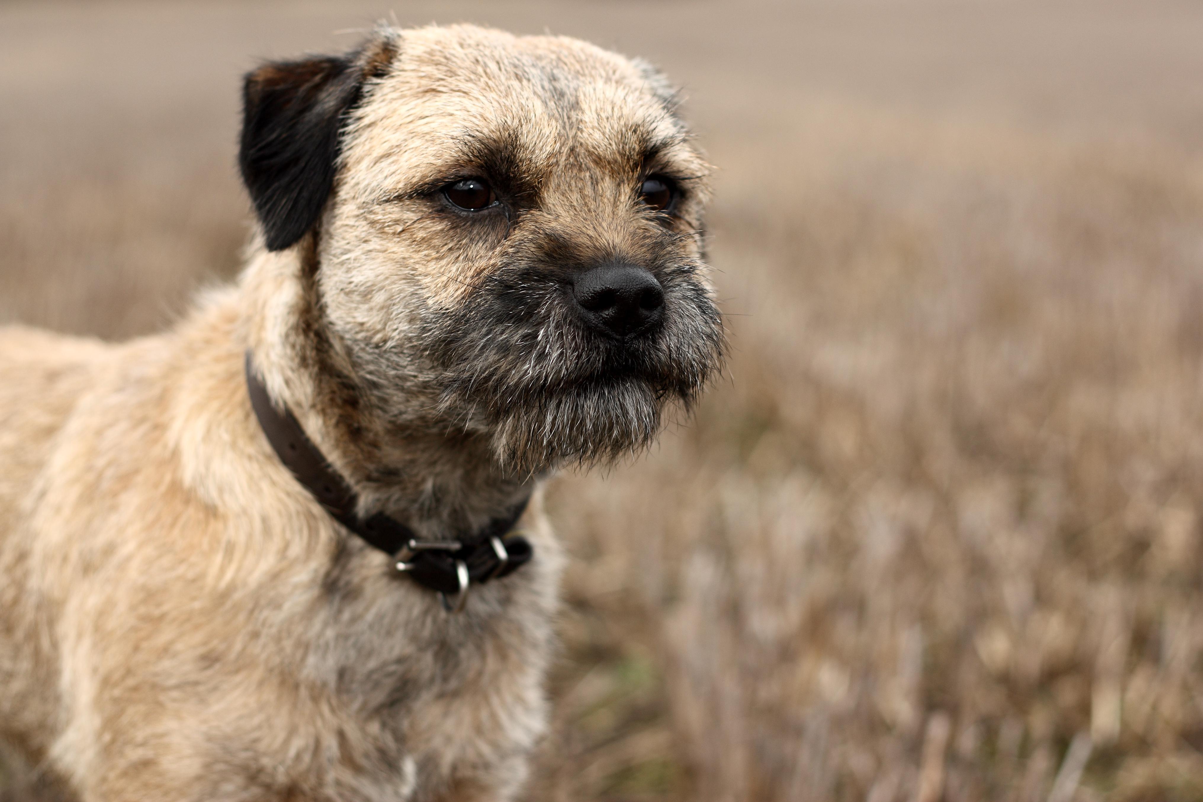 border-terrier-characterstics