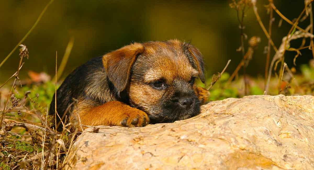 border-terrier-history