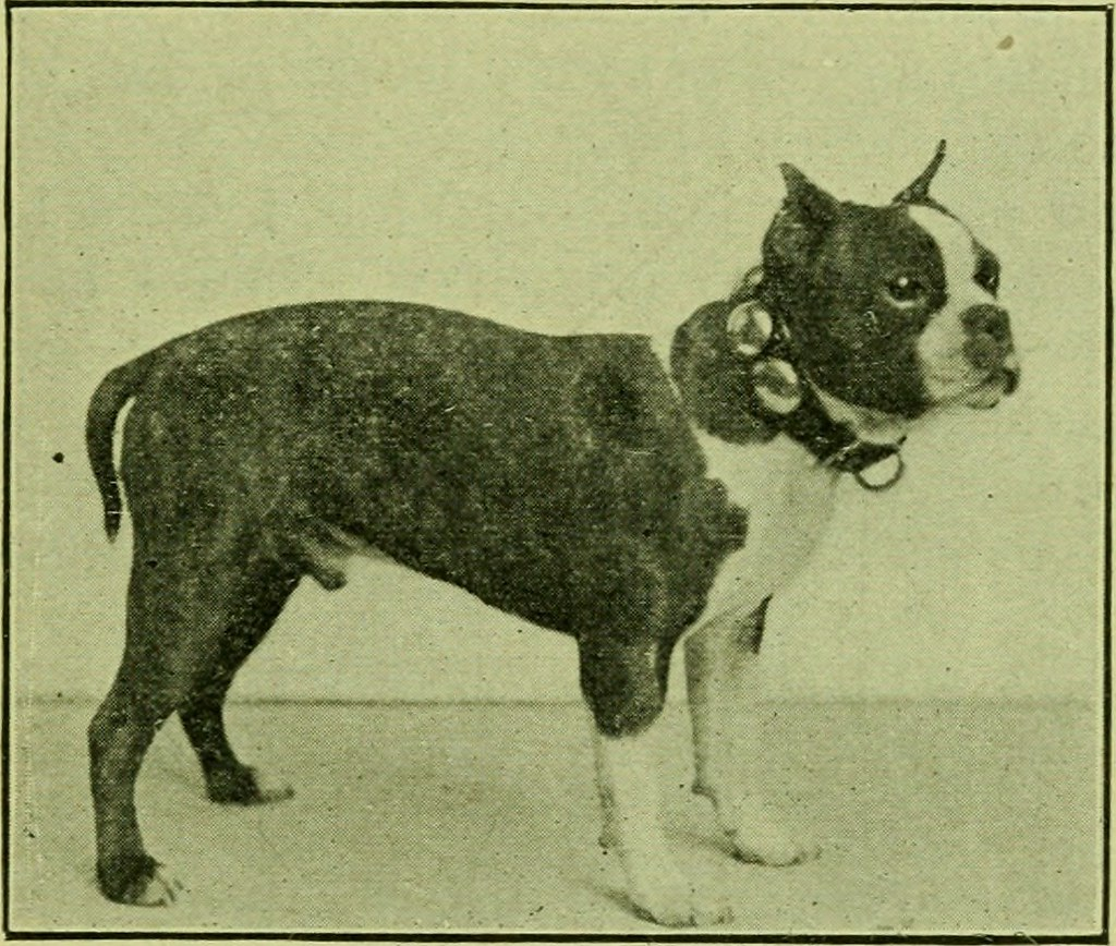 boston-terrier-history