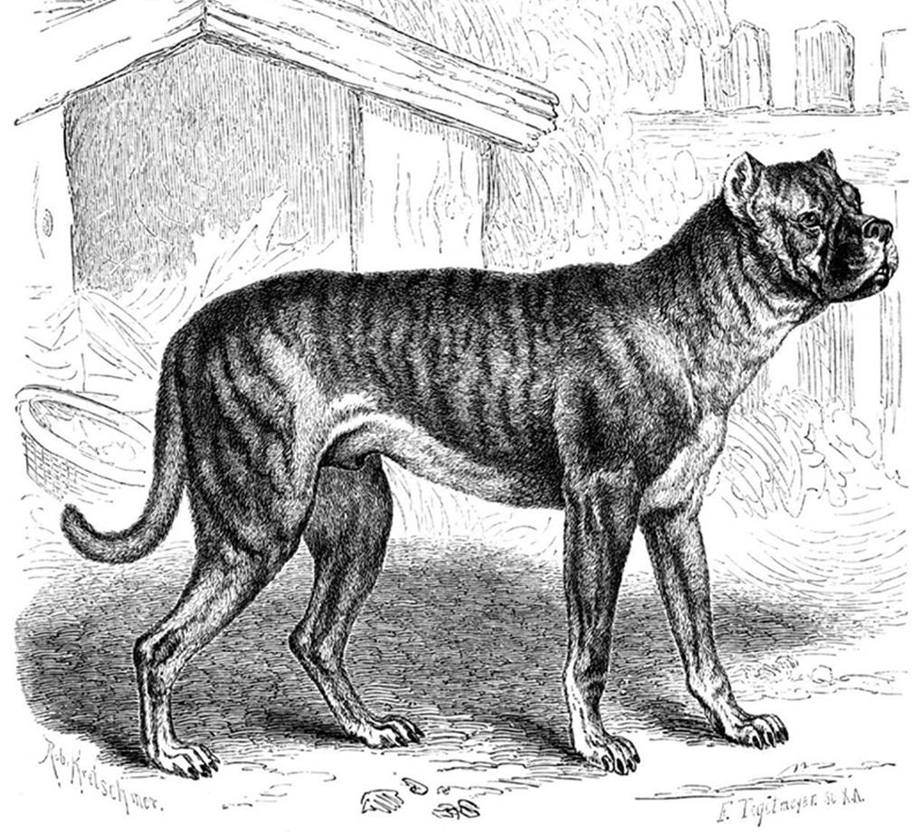boxer-dog-history