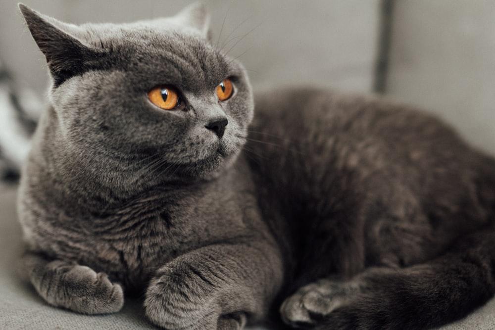 british-shorthai-cat
