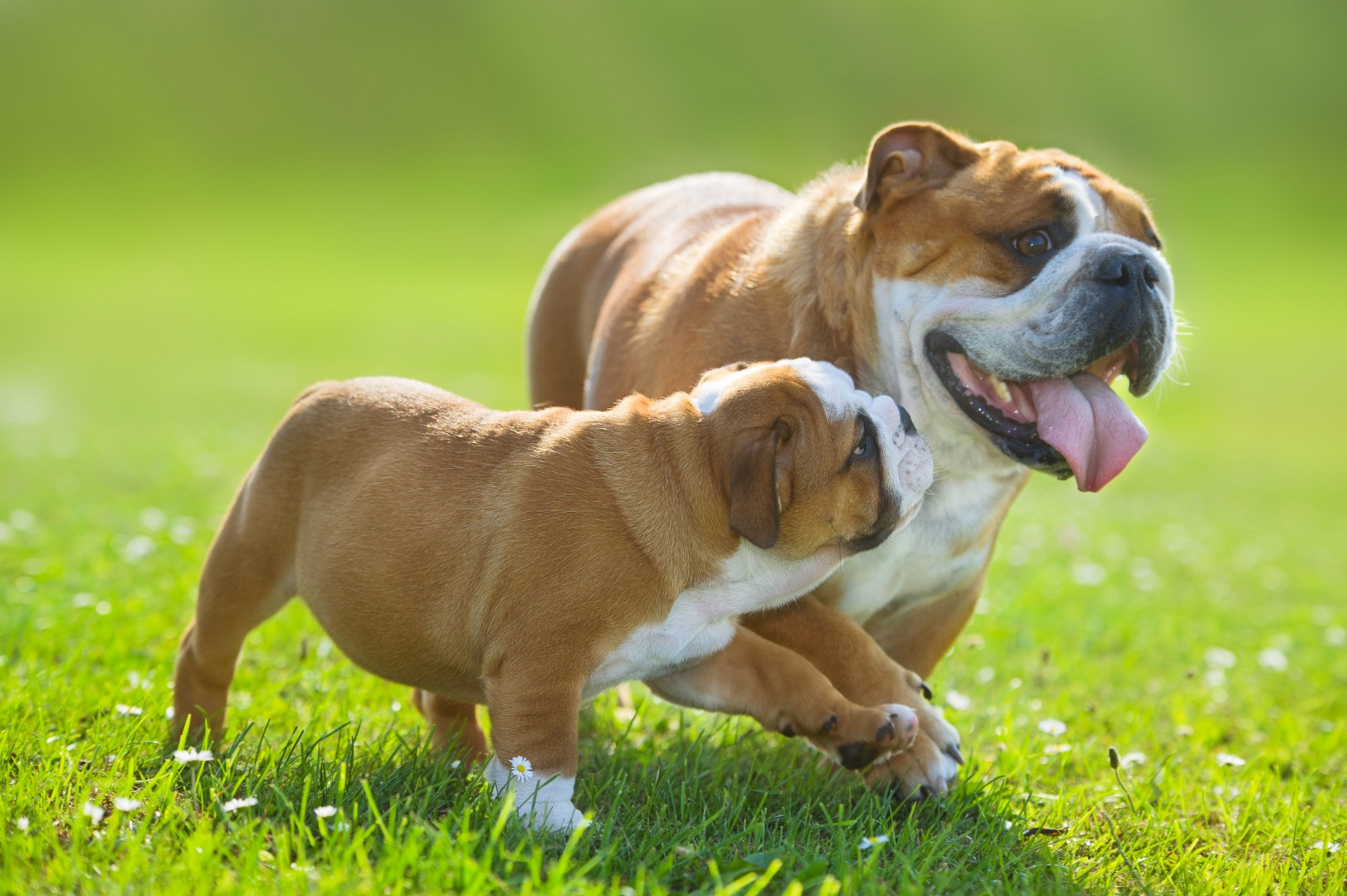 bulldog-names1