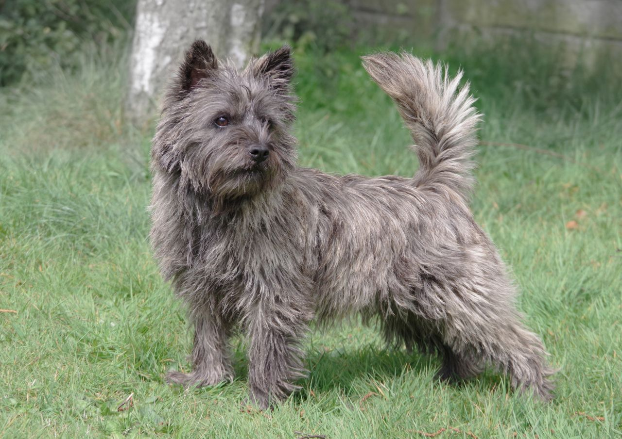 cairn-terrier-dog-breed