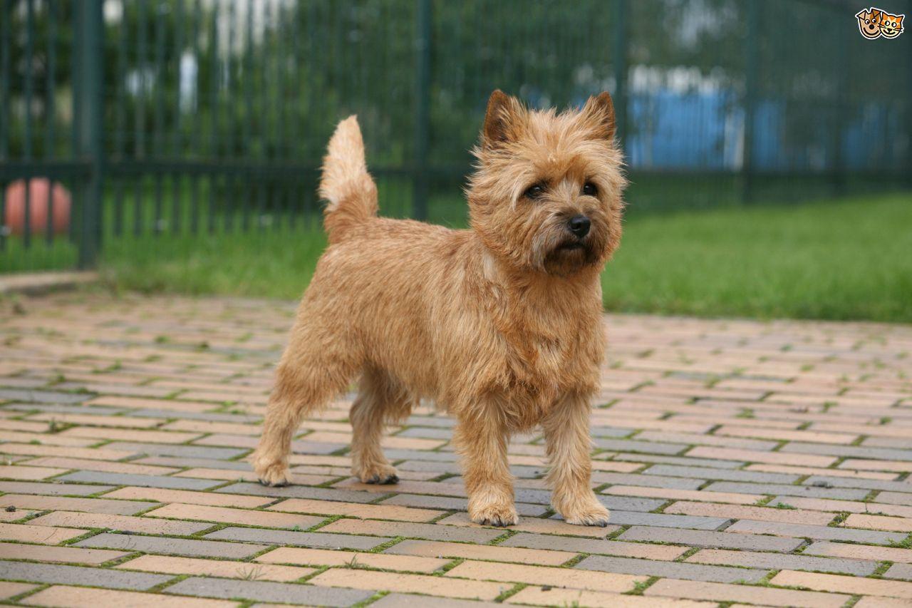 cairn-terrier-grooming