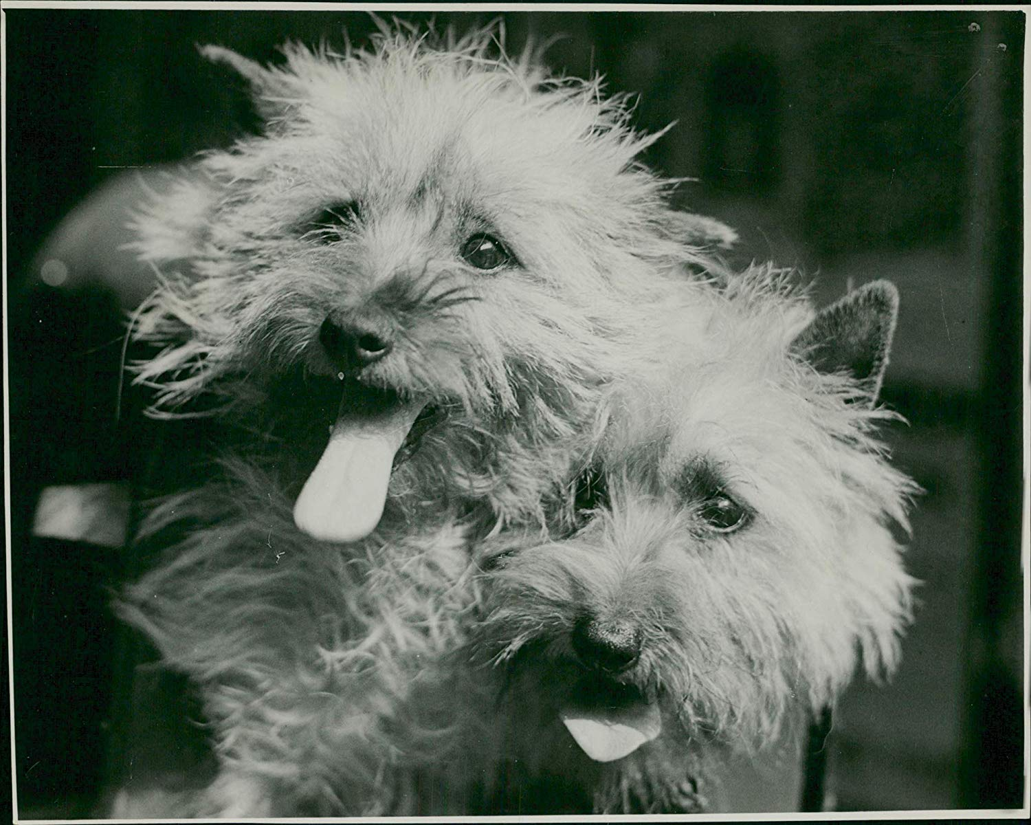 cairn-terrier-history