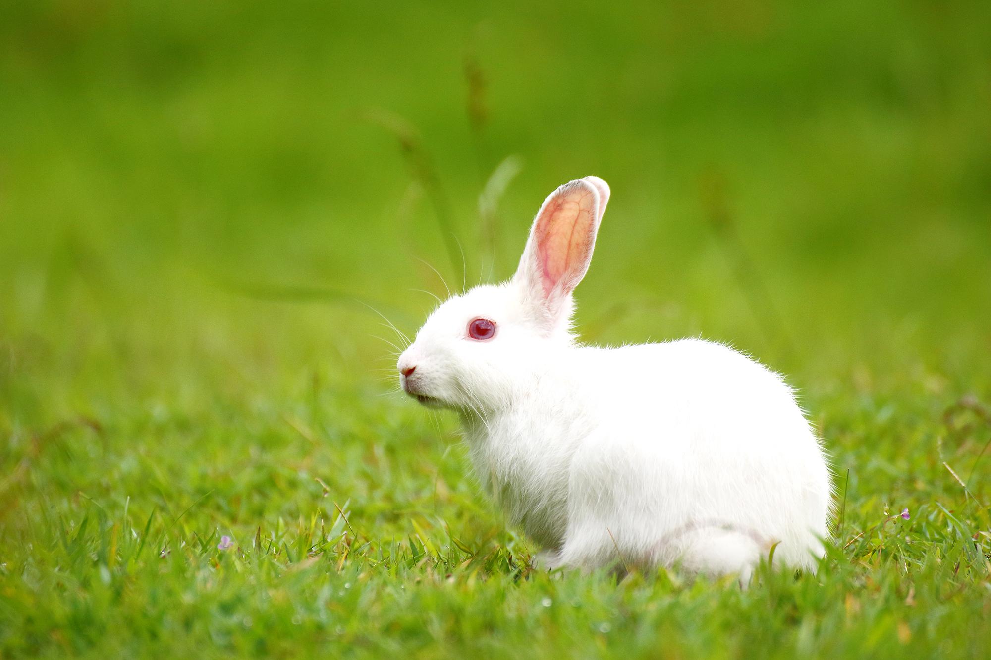 Rabbit-cannibalism