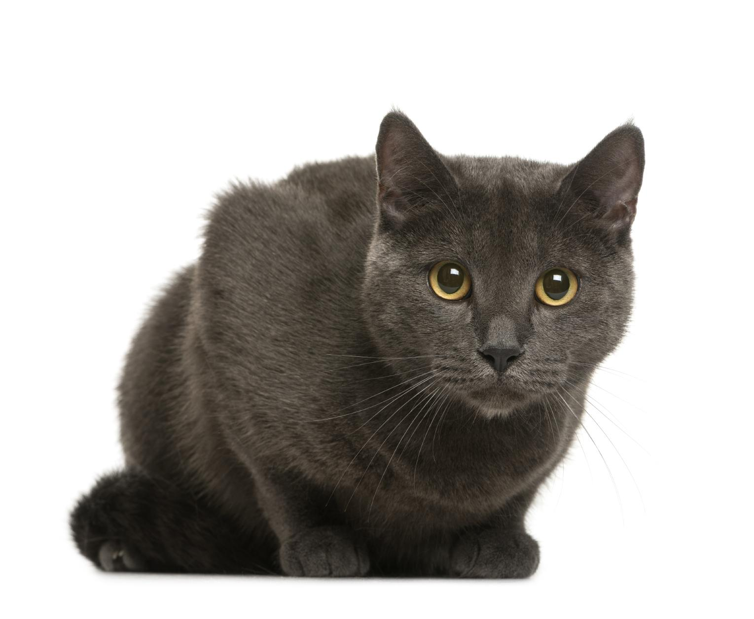 cat-chartreux