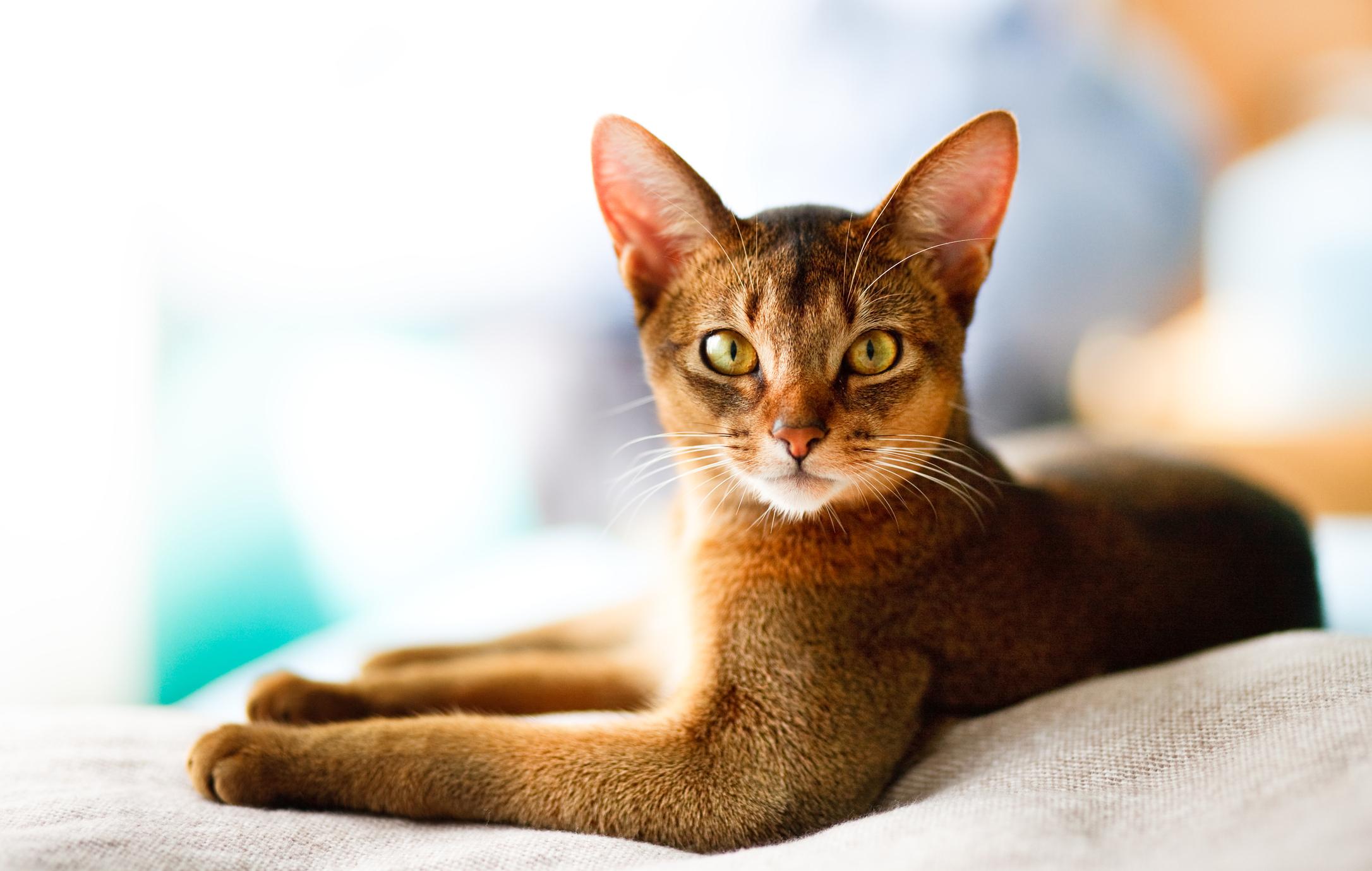 Characteristics Of Abyssinia Cat